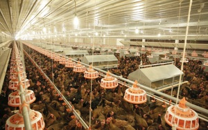 """Đàn gà tăng đột biến, người chăn nuôi lỗ liểng xiểng: Tập trung xuất khẩu để """"cứu"""" đàn gà"""