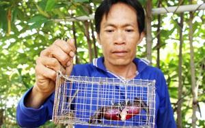 """29 Tết: Chuyện lạ Cà Mau, dùng rập chuột bẫy con ba khía """"không trượt phát nào"""""""