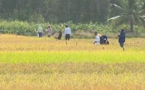 Cà Mau: Khảo nghiệm giống lúa mới, ứng phó với biến đổi khí hậu