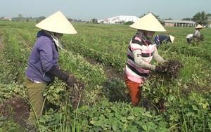 Trồng cây gì ra quả mà gọi là củ, nông dân huyện này của tỉnh Long An nhổ bao nhiêu lái mua hết bấy nhiêu?