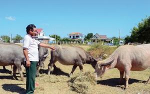 Ninh Thuận: Làng nuôi trâu nhiều nhất huyện, nhà nào nuôi nhà đó giàu, ai đến xem trâu đều bất ngờ
