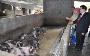Hà Giang: Bất ngờ nơi nuôi cả ngàn con lợn to đùng bên sông Nho Quế, mỗi con nặng 250kg, lông đầu xoáy bông hoa