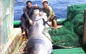 Quảng Trị: Dân bắt được con cá gì mà nặng tới 550kg, bán giá cao chưa từng thấy?