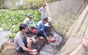 Kiên Giang: Vùng đất này dân lội dỡ chà bắt cá đồng, cá to cá nhỏ nhảy lao xao, ai đi qua cũng xuýt xoa