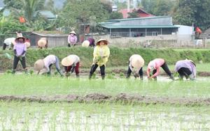 Phù Yên: Trồng lúa hữu cơ, lợi nhuận tăng hơn 8 triệu đồng so với lúa thông thường