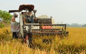 """Vụ đông xuân """"hoàn hảo"""", giá lúa tăng cao, lần đầu tiên nông dân trồng lúa ĐBSCL có lãi kỷ lục"""