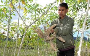 Giá sắn tăng tới 150% do Trung Quốc đột nhiên thu mua với số lượng lớn, nông dân vẫn tiếc vì điều này