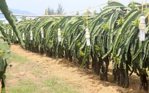 Bình Thuận: Giá thanh long tăng cao, nông dân không dám cho ra trái vì sợ khô hạn