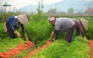 Nông dân Hải Dương tất bật thu hoạch nông sản tồn đọng sau giãn cách xã hội