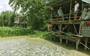 Lạ đời miền Tây: Những ông lão, bà lão bỏ tiền túi nuôi cả chục, cả trăm tấn cá sông như thú cưng