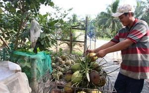 Tiền Giang: Thứ quả ra từng chùm bất ngờ tăng giá mạnh, nông dân hối hả chặt bán