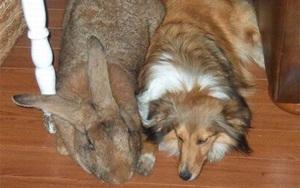 """Thỏ to hơn chó, ếch nặng 3kg và những """"quái vật"""" khổng lồ trong thế giới động vật"""