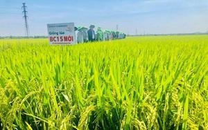 Quảng Nam: Hai giống lúa thuần BC15 mới, TBR225 được mùa nông dân phấn khởi