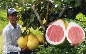 """Vĩnh Long: Một người đàn ông trồng giống bưởi lạ, trái màu hồng """"đẻ"""" quanh năm, treo từng chùm nhìn đã mắt"""
