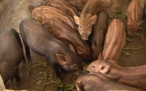 Khởi nghiệp với 5 triệu đồng, lão nông phất lên sau 3 năm nhờ nuôi heo rừng