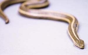 """Loài rắn sọc khổng lồ có chiều dài lên tới gần 2m cùng khả năng bơi lội """"thần sầu"""""""