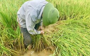 Hàng nghìn ha lúa ngã đổ sau giông lớn, để cứu vụ Đông Xuân, nông dân tỉnh Quảng Bình đau lưng làm điều này