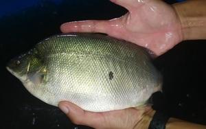 """Đồng Tháp: Xuất hiện các hộ nuôi cá """"lạ"""", là cá gì mà thân màu xanh nhạt, vây lưng có gai?"""