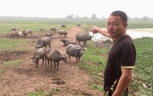 """Ninh Bình: Nuôi trâu, nuôi bò kiểu """"du mục"""" con nào cũng béo tốt, tháng nào cũng thu đều hơn 10 triệu đồng"""