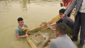 """Lào Cai: Nuôi đàn cá đặc sản không xương dăm, cá """"đại bổ"""", anh nông dân thu nhập gần 2 tỷ đồng"""