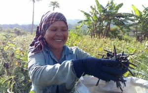 Ninh Thuận: Trồng thứ cây xanh um trái chín đen sì, nông dân trúng mùa trúng giá