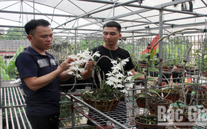 Bắc Giang: Vườn lan rừng tỏa hương khoe sắc trong nhà màng, bất ngờ cây lan rừng ra chuỗi hoa trắng như bạch ngọc
