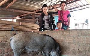 Nuôi thứ lợn sọc dưa lạ mắt, lông cứng như chổi xể, ở nơi này nhà nào nuôi nhà đó khá giả hẳn lên