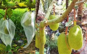 Giá mít Thái hôm nay 3/5: Nông dân trồng mít Thái siêu lùn, cây thấp tè đã ra trái quá trời, bán mít giá cao