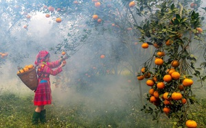 """Bí quyết bắt cây cam sành """"đẻ"""" hàng tạ quả/vụ của tỷ phú cam Hà Giang"""