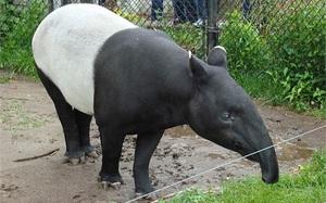 Loài động vật kỳ lạ, nửa ngựa nửa tê giác
