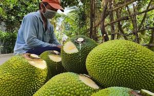 Giá mít Thái hôm nay 10/10: Giá lại giảm, vì sao 1 ông nông dân Cần Thơ muốn bỏ mít chỉ để sầu riêng?