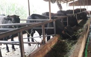 Thái Nguyên: Vừa bán vừa nuôi bò 3B toàn con to bự, HTX này thu cả chục tỷ/năm
