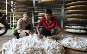 Lâm Đồng: Giá kén bất ngờ tăng cao, nông dân lại hào hứng trồng dâu nuôi tằm