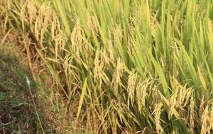 Nông dân hết lo cảnh thiếu nước nhờ kênh tưới Thượng Sơn