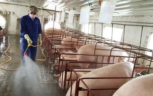 Giá lợn hơi giảm, cộng thêm dịch tả lợn châu Phi tái phát, người chăn nuôi khó chồng khó