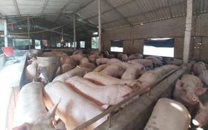 """Giá lợn hơi giảm sâu chưa từng có, nông dân """"treo"""" chuồng, cảnh báo Tết Nhâm Dần thiếu thịt"""
