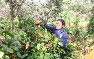 Lâm Đồng: Trồng rau rừng có cái tên lạ trong rẫy cà phê, hái đọt non bán đắt tiền, hái bao nhiêu bán hết veo