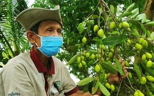 Cần Thơ: Trái cà na chín rụng đầy vườn mà thương lái chẳng ngó ngàng, nông dân thất thu
