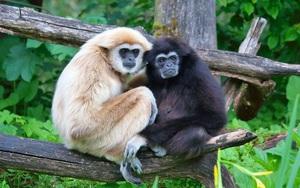 Loài vượn tình cảm, chung thủy bậc nhất thế giới động vật