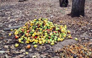 """Bình Thuận: Đáng buồn, nông dân thất thu bên những vườn trồng điều toàn các cây già """"lụ khụ"""""""