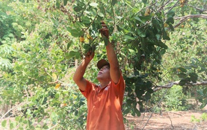 Mỹ - Trung tăng mua, tại sao giá loại nông sản này vẫn giảm sâu dù đang cao điểm mùa chế biến?