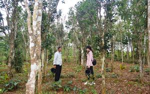 Vùng đất này của tỉnh Quảng Trị chỉ là trồng cây chè xanh thôi, vì sao muốn hái lá dân phải bắc thang trèo?