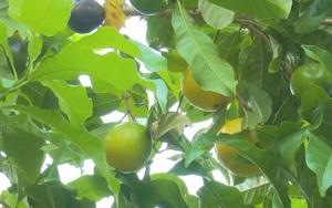 Hậu Giang: Phát triển giống vú sữa hoàng kim theo tiêu chuẩn VietGAP, hướng đi mới cho những giống cây độc – lạ