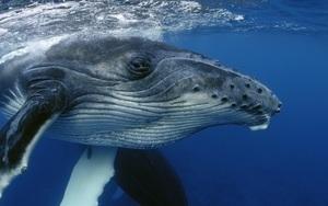 Vì sao cá voi lưng gù lại hát dưới đại dương?