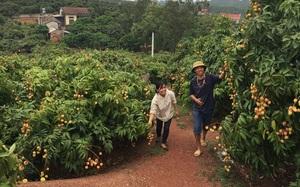 Bắc Giang: Lô vải thiều đầu tiên sắp sang Nhật Bản, huyện Tân Yên chuẩn bị những gì?