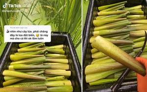"""Cứ ngỡ giống lúa đột biến """"siêu to khổng lồ"""", nhìn kỹ hoá ra là một đặc sản quen thuộc ở Việt Nam"""