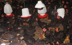 Giá gia cầm hôm nay: Giá thức ăn tăng vọt, người nuôi gà Bình Định lâm cảnh lao đao