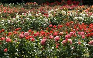 Ảnh hưởng của dịch Covid-19, hoa Đà Lạt bị tiêu thụ chậm, người trồng lỗ nặng