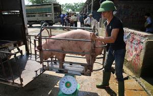 """Giá lợn hơi xuống mức thấp nhất trong 1 năm qua, nhiều hộ chăn nuôi """"treo"""" chuồng"""