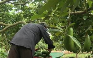 Vũng Tàu: Nắng nóng kéo dài, vụ trái cây hè 2021 bị mất mùa - trễ vụ, nhiều nhà vườn lo lắng